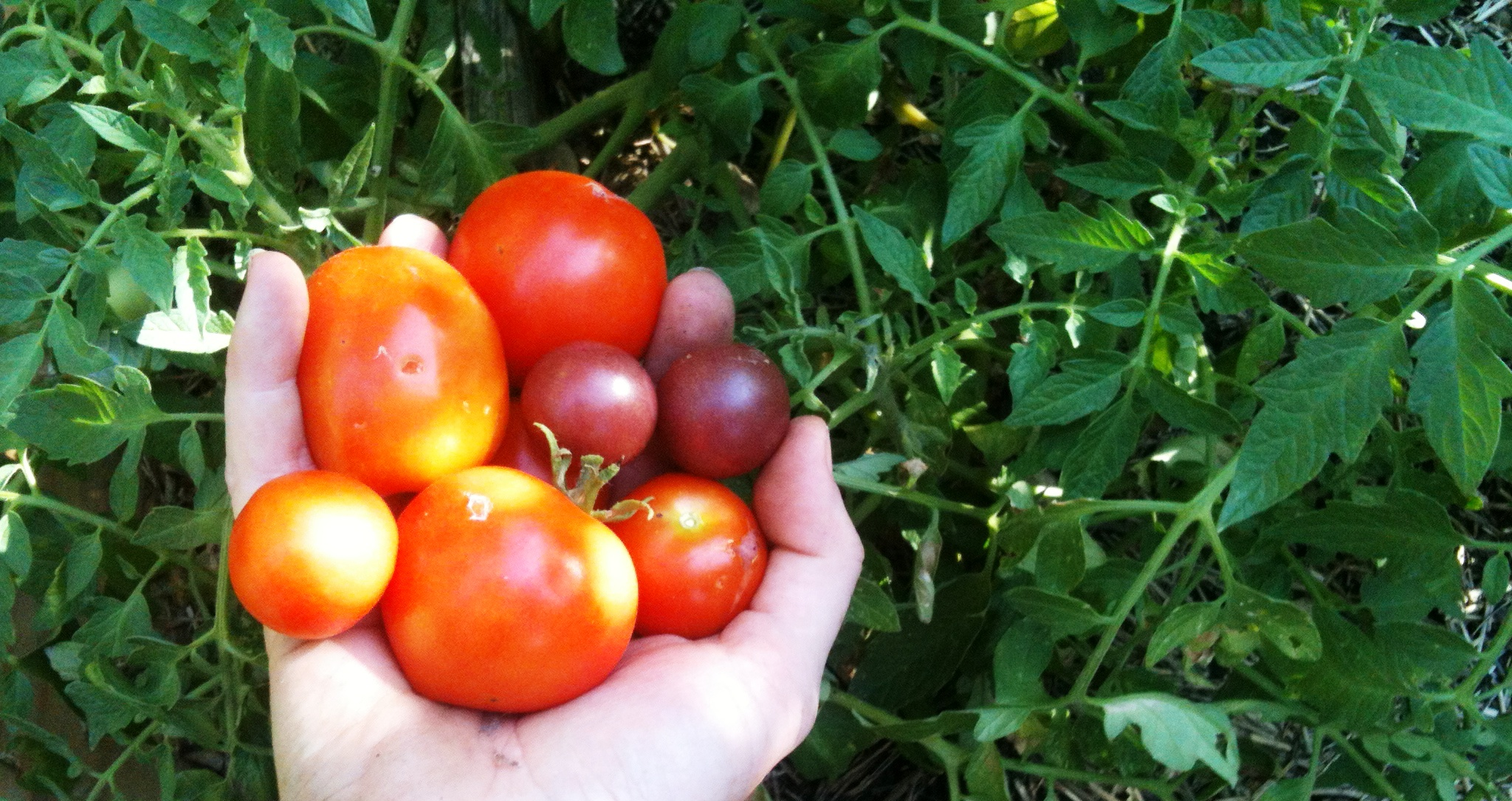 Your friendly neighbourhood tomato growing guide: Step 1. Choosing the right tomato for you