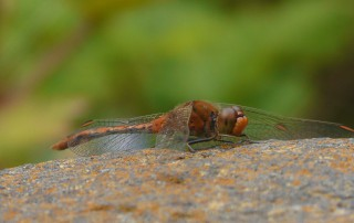 Male Red Percher Dragonfly