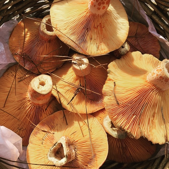 Victorian pine mushrooms fresh from the forest Available now localhellip