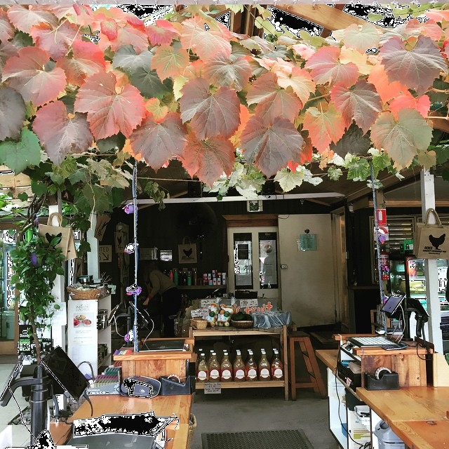 Autumn installation ornamentalgrapevine ceresgrocery