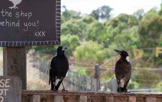 magpies at CERES in June